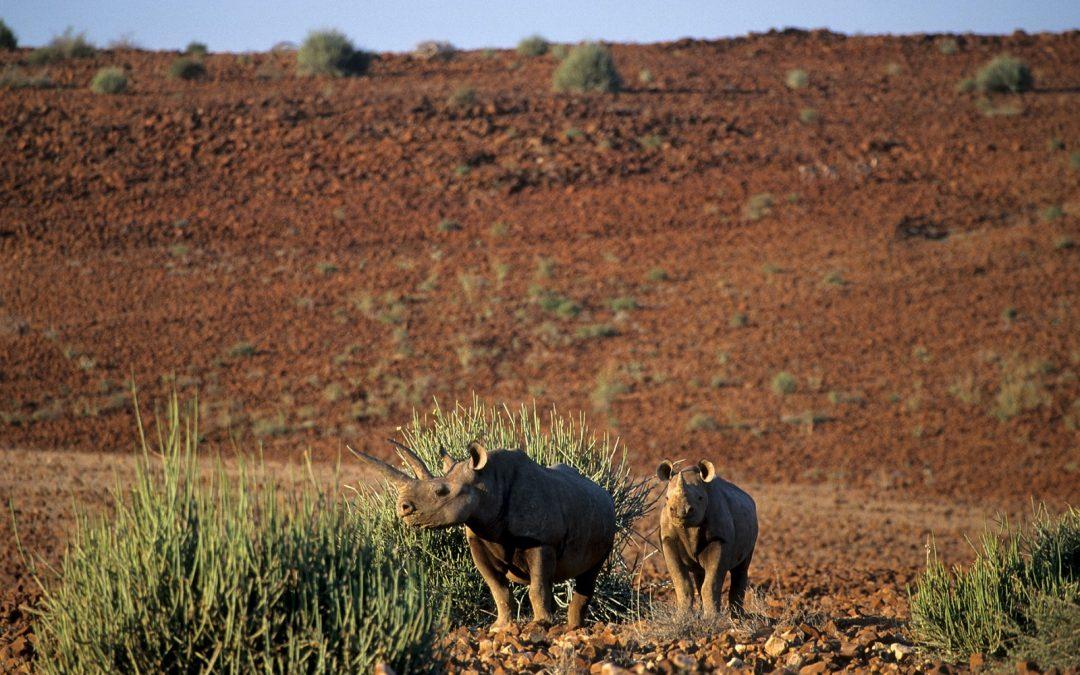A la rencontre des rhinocéros noirs de Namibie