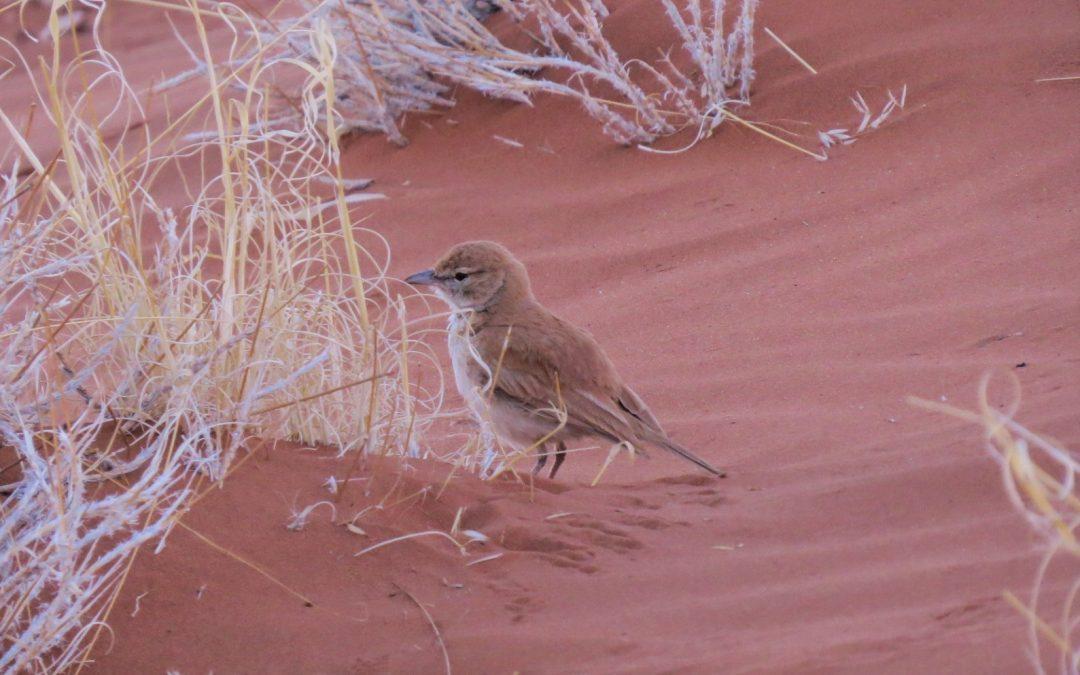 Comment photographier l'alouette à dos roux endémique de Namibie ?